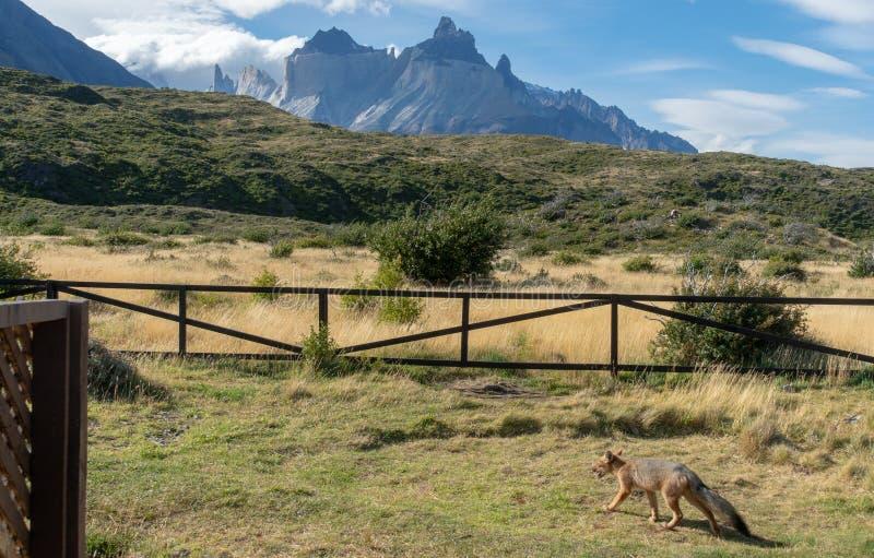 Fox na terra de acampamento em Torres del Paine fotografia de stock royalty free
