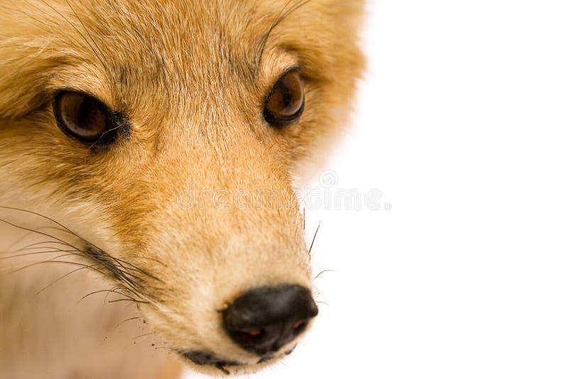 Fox (nahe Ansicht) lizenzfreie stockfotos