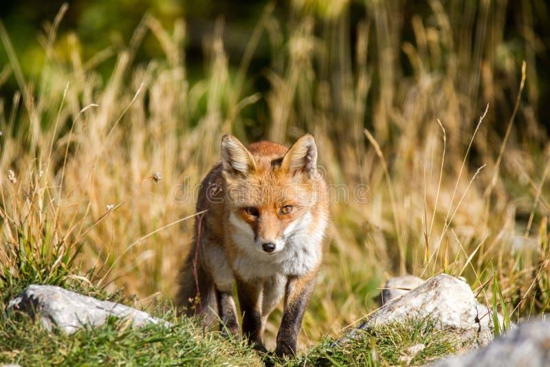 Fox national park of abruzzo royalty free stock photography