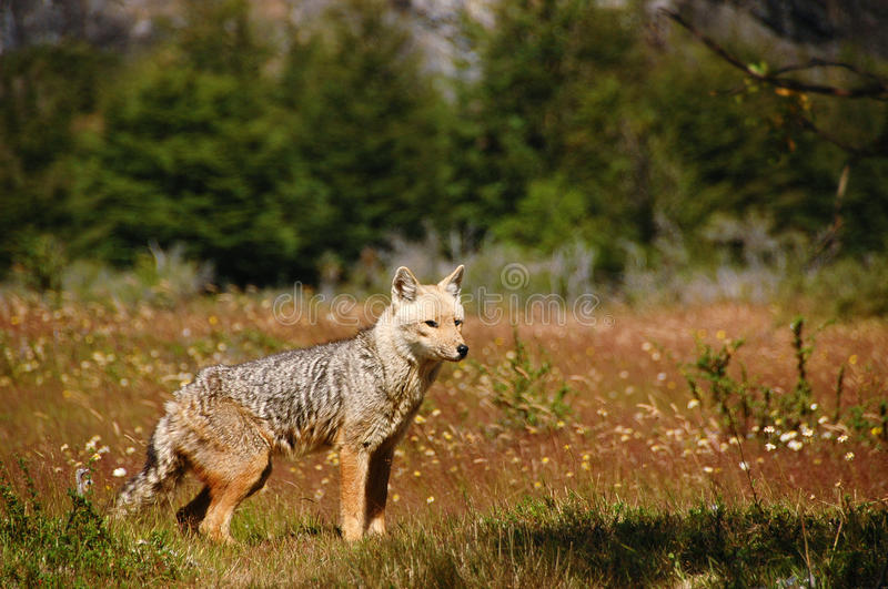Fox in Nature royalty free stock photography