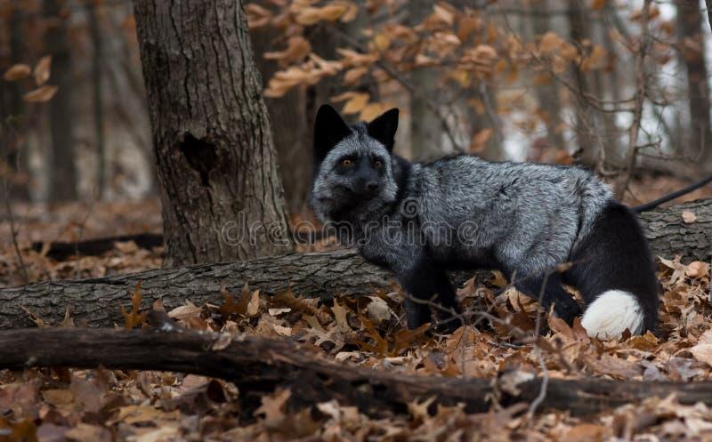 Fox nero in Autumn Wood fotografia stock