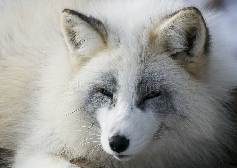 Fox no inverno imagem de stock