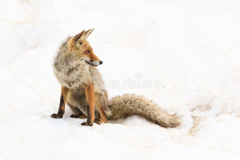 Fox no parque nacional de Gran Paradiso fotos de stock