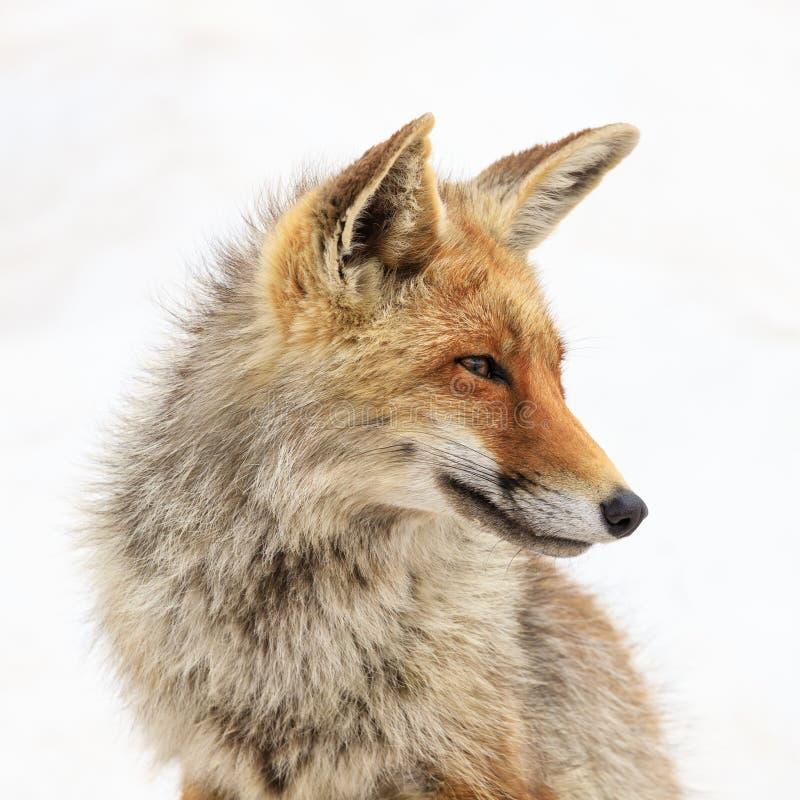 Fox no parque nacional de Gran Paradiso foto de stock