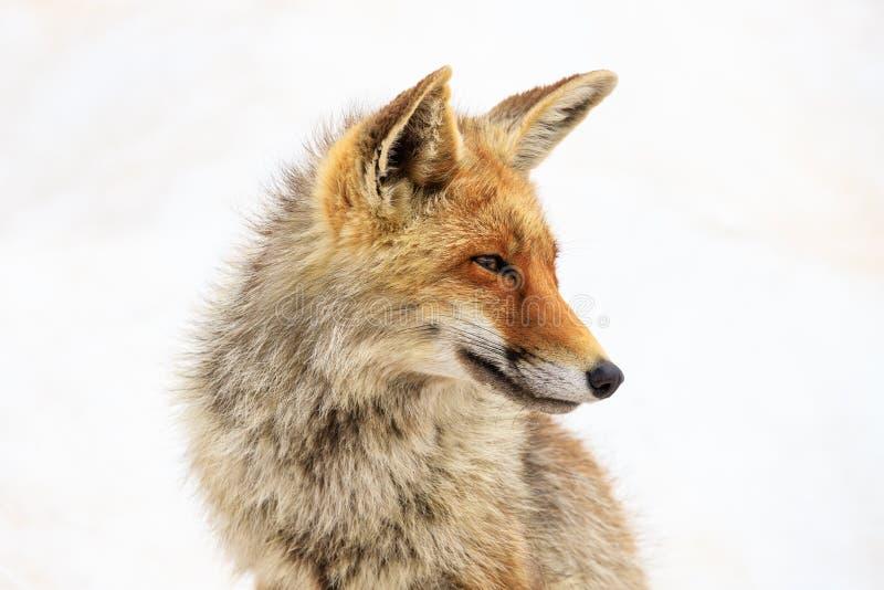 Fox no parque nacional de Gran Paradiso imagens de stock