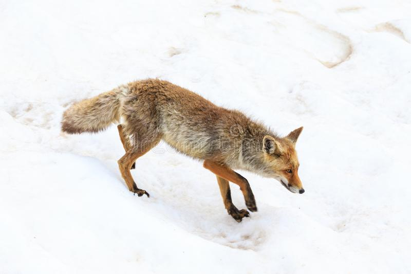 Fox no parque nacional de Gran Paradiso fotografia de stock royalty free