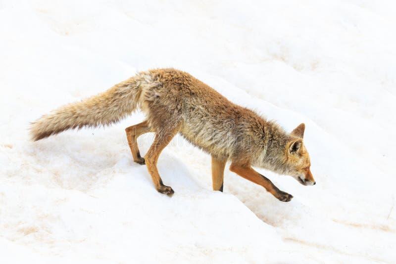 Fox no parque nacional de Gran Paradiso fotos de stock royalty free