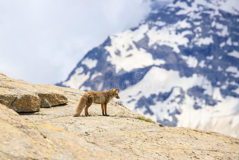 Fox no parque nacional de Gran Paradiso imagem de stock royalty free