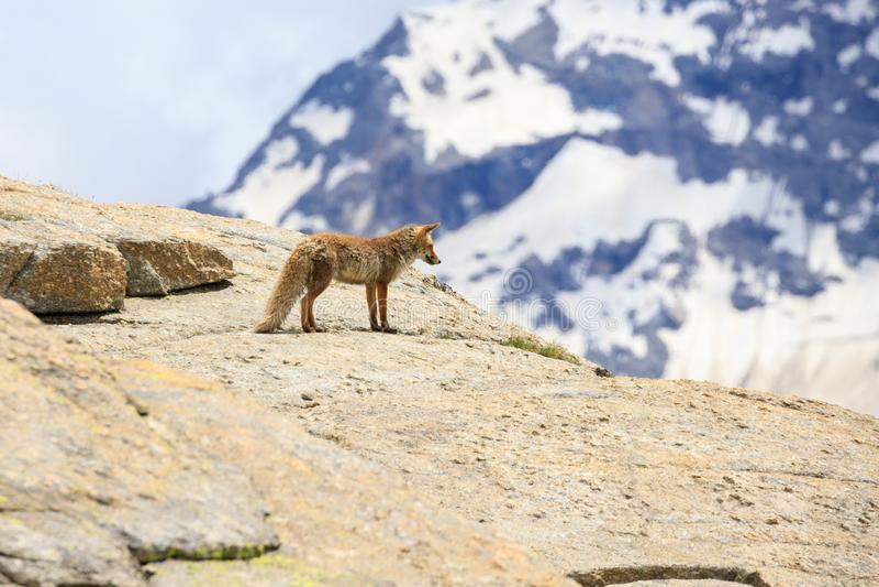 Fox no parque nacional de Gran Paradiso fotografia de stock