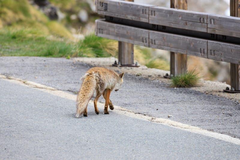 Fox no parque nacional de Gran Paradiso imagens de stock royalty free