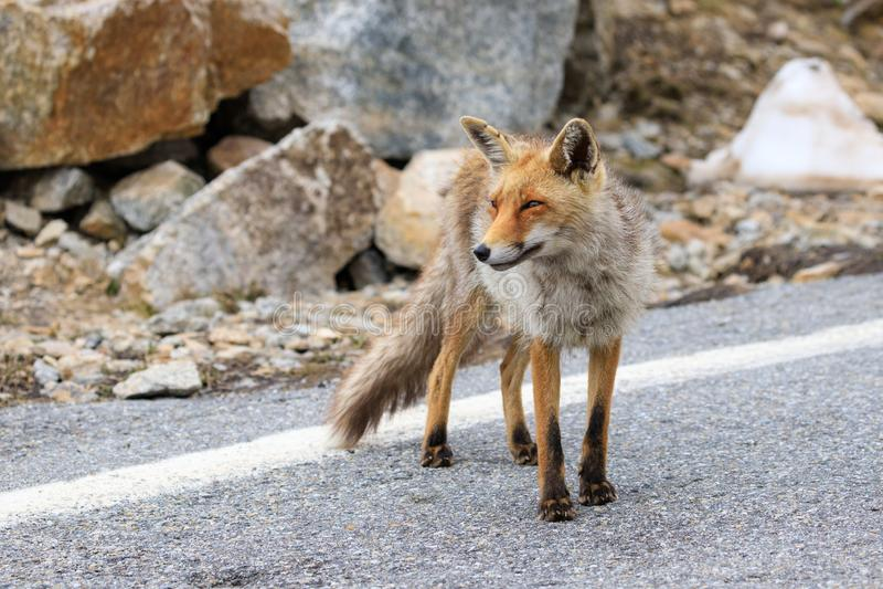 Fox no parque nacional de Gran Paradiso imagem de stock