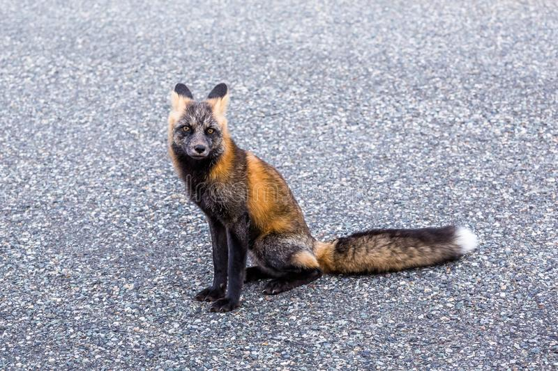 Fox sitting on road way in Canada, causing trouble as all cars stop to look at him. Fox in northern Canada sitting on the Cassiar highway. Cars stop to look but stock image