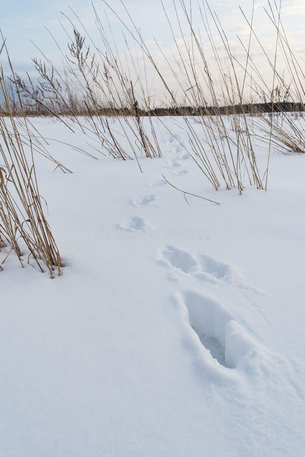 Fox odcisk stopy, ślada dzikie zwierzę w śniegu zdjęcia stock