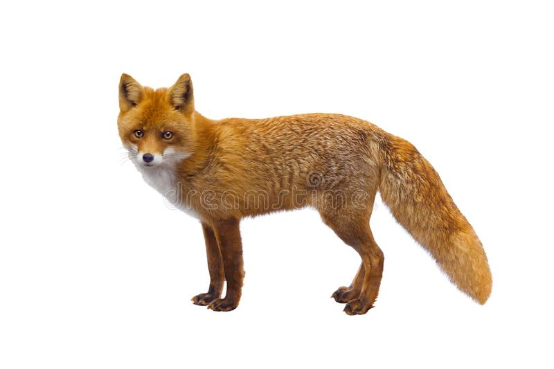 Fox odizolowywał na bielu zdjęcie royalty free
