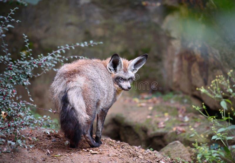 Fox orelhudo do bastão fotos de stock