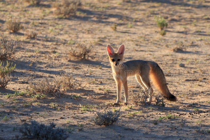 Fox orelhudo do bast?o imagem de stock royalty free