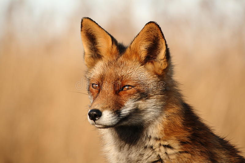 Fox Países Baixos Oostvaardersplassen imagem de stock
