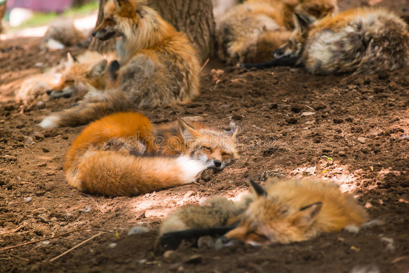 Fox pack , fox village, Miyagi , Japan stock images