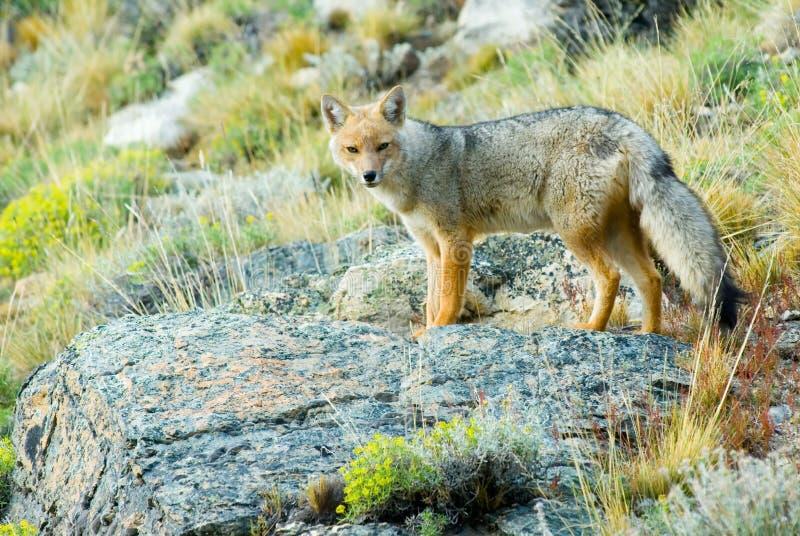Fox Patagonian fotografia stock