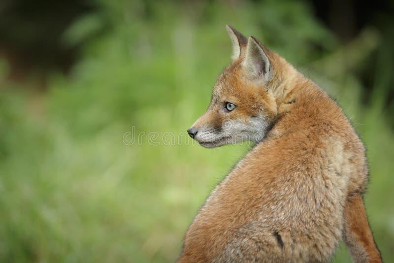 Fox patrzeje nad jego ramieniem obrazy stock
