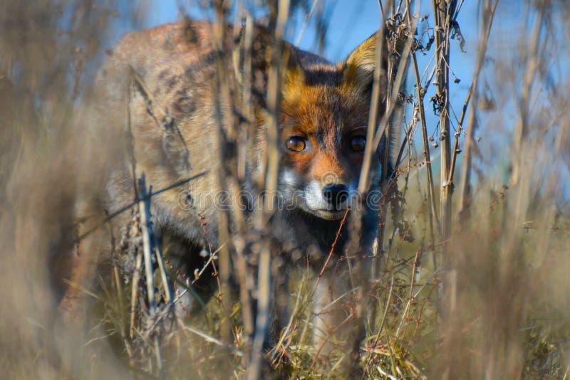 Fox peering through the reed stock photos