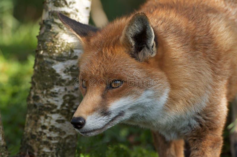 Fox polowanie zdjęcia royalty free