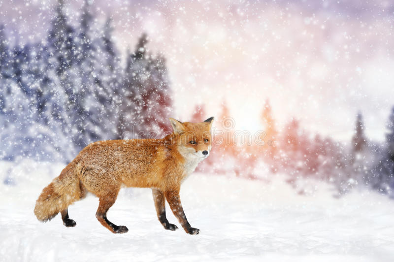 Fox portrait in nature. Close red fox portrait in winter time stock photography