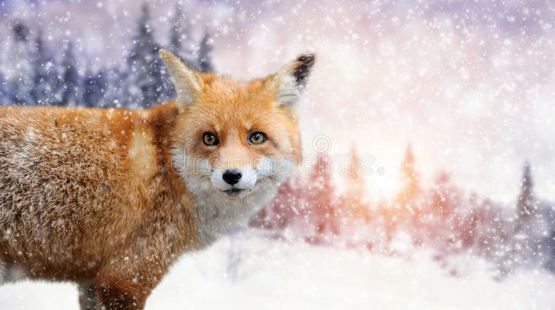 Fox portrait in nature. Close red fox portrait in winter time stock images