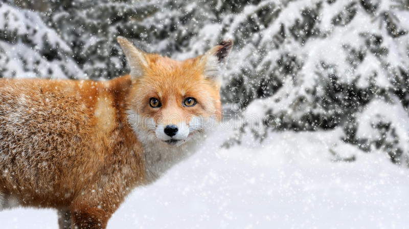 Fox portrait in nature. Close red fox portrait in winter time royalty free stock image