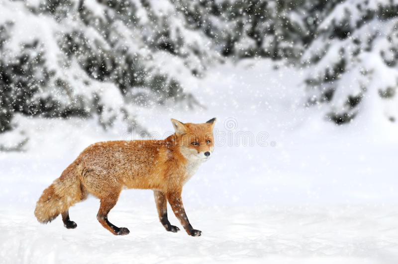 Fox portrait in nature. Close red fox portrait in winter time stock photos