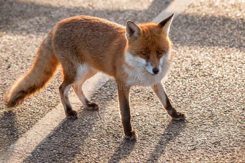 Fox pozycja na linii fotografia royalty free