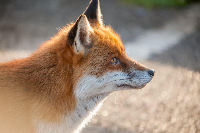 Fox profil fotografia royalty free
