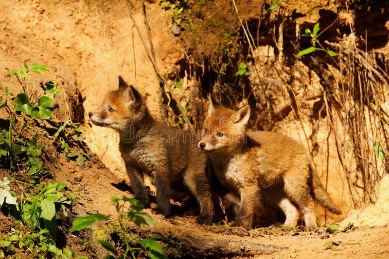 Fox pups royalty free stock photography