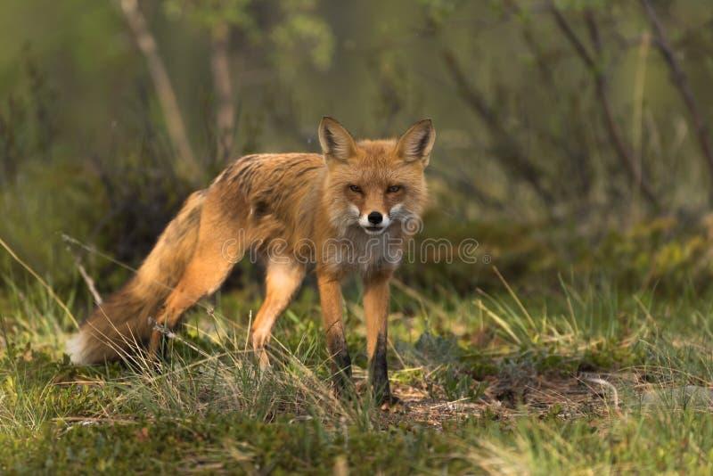 Fox que bizquea en el sol foto de archivo