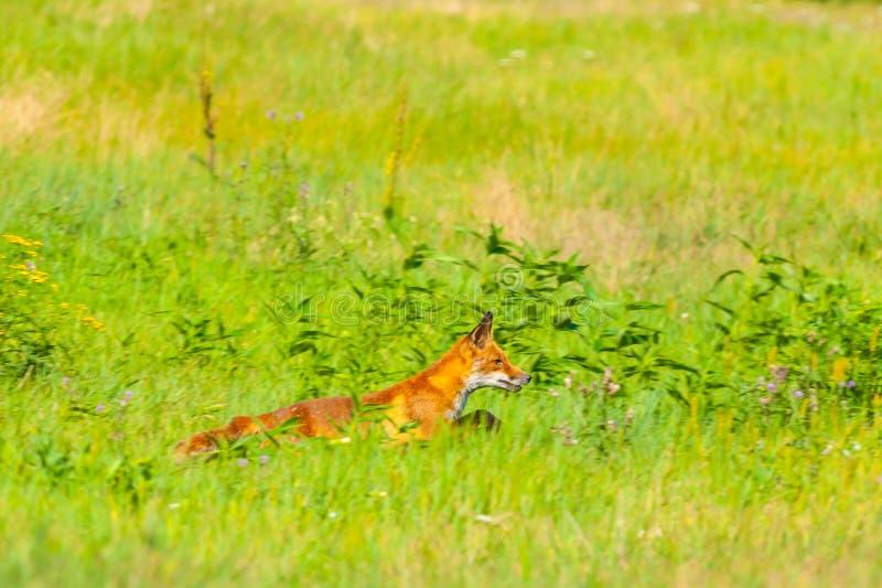 Fox que corre através do prado fotos de stock royalty free