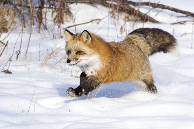 Fox que corre na neve foto de stock