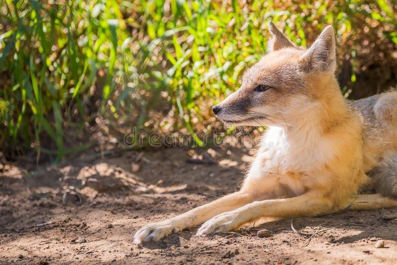 Fox que encontra-se no sol fotos de stock