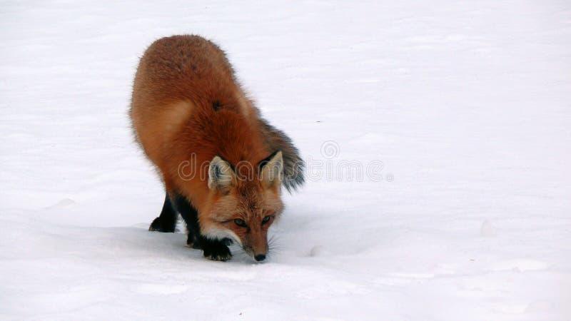 Fox in Quebec. Canada, north America. Fox in Quebec. Canada north America royalty free stock photos