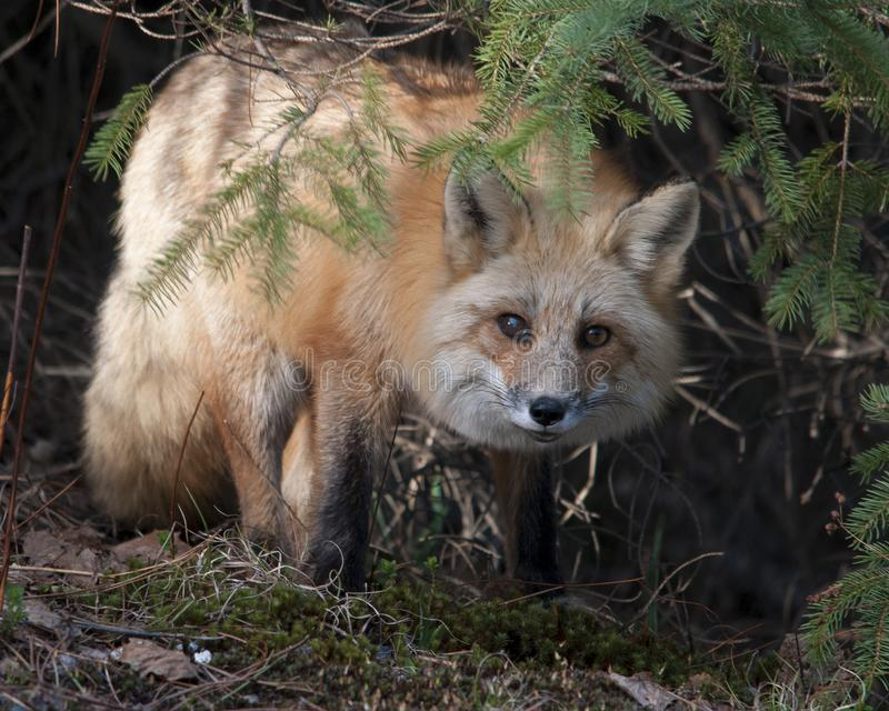 Fox Red Fox animal Stock Photo.  Fox Red fox animal close-up profile view evergreen background and moss. Portrait. Picture. Image. Fox Red Fox animal  close-up royalty free stock photos