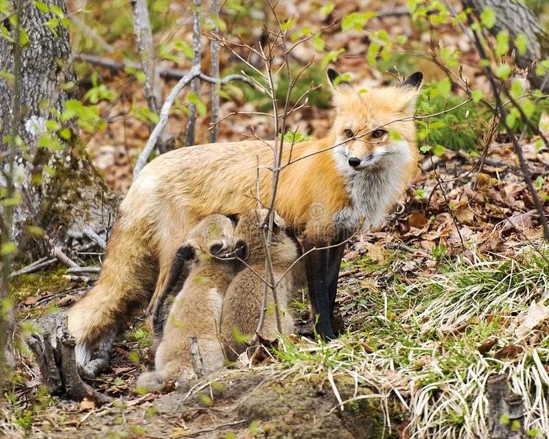 Fox Red Fox Animal Photo.  Fox Red Fox animal mother feeding kit foxes in the forest. Fox Red Fox animal mother feeding its kit foxes in the forest in its stock images