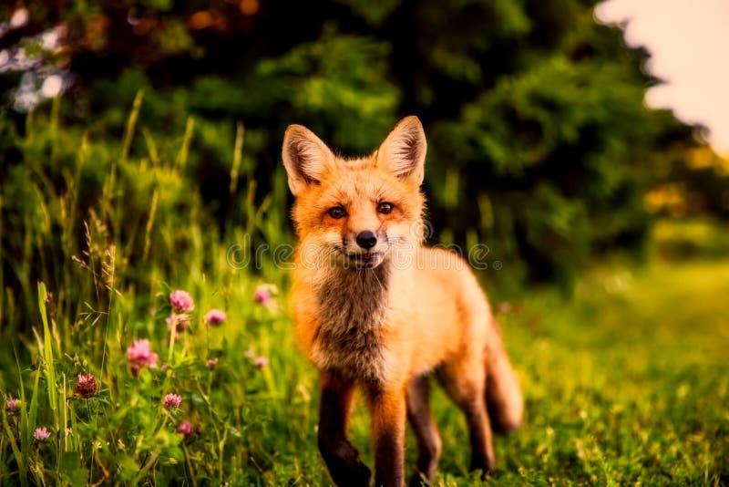 Fox, Red Fox, Mammal, Wildlife royalty free stock image