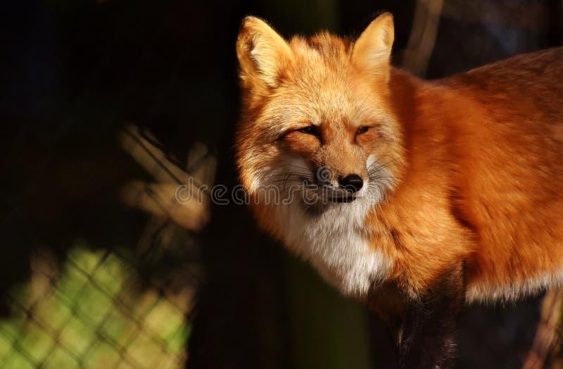 Fox, Red Fox, Mammal, Wildlife stock photography