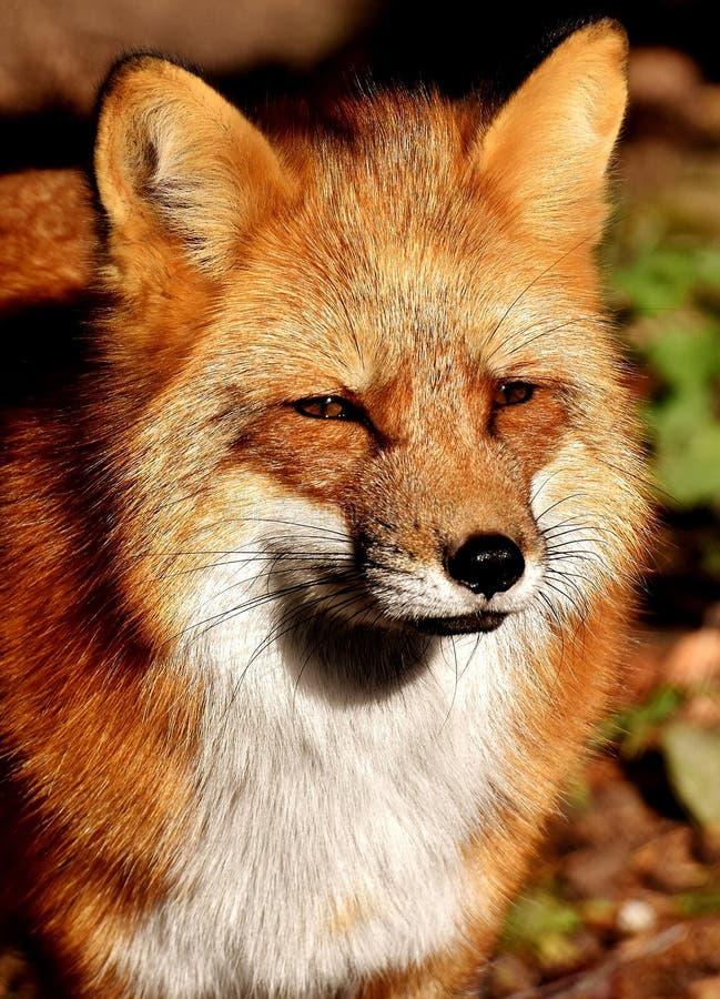 Fox, Red Fox, Wildlife, Mammal royalty free stock image