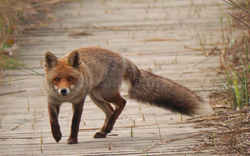 Fox, Red Fox, Wildlife, Mammal stock photo
