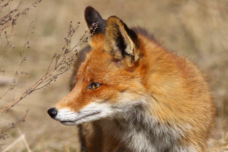 Download Fox stock photo. Image of nature, latvia, portrait, animals - 83711408