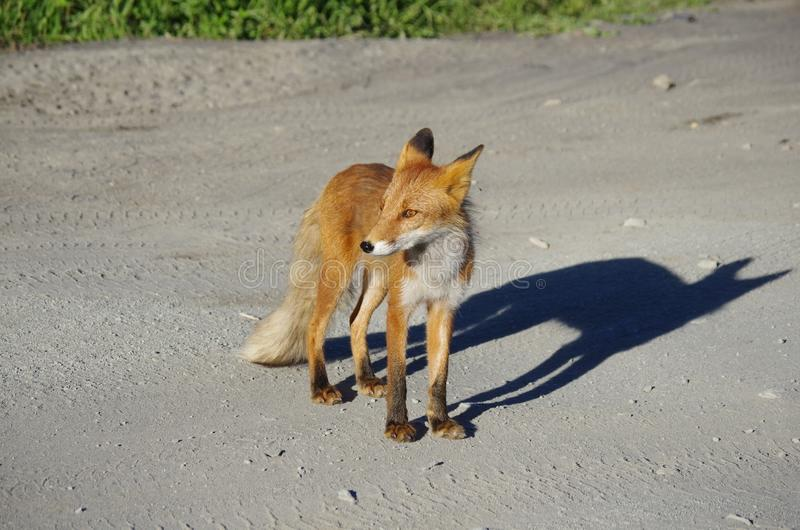 Fox, Red Fox, Wildlife, Fauna royalty free stock photography