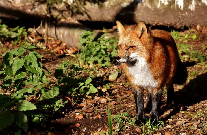 Fox, Red Fox, Wildlife, Mammal stock photos