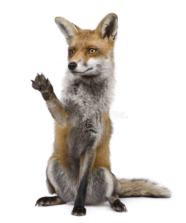 Fox rojo, 1 año, sentándose con la pata levantada foto de archivo
