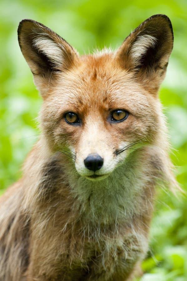 Download Fox rojo foto de archivo. Imagen de mamífero, animal - 42436920