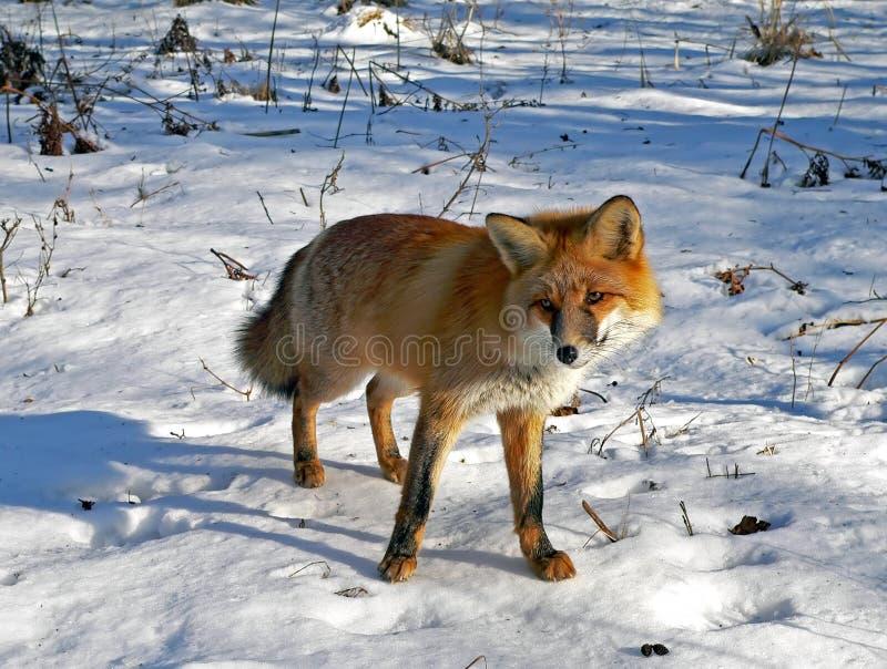 Fox rojo 7 imagen de archivo